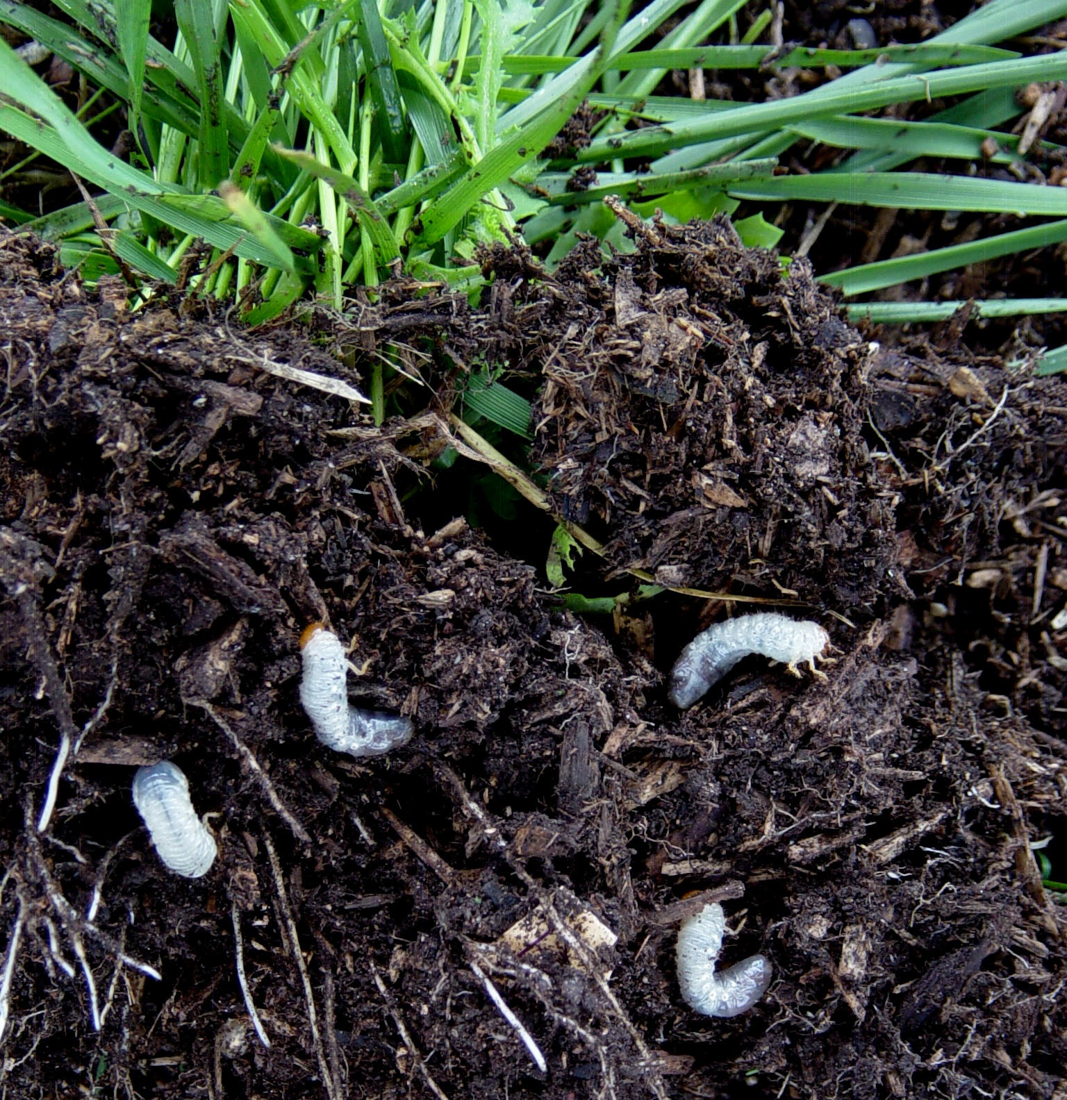 Yellow grubs in garden 28 images parkerbiolabs bbc for Soil near me